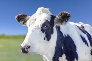 青空と緑の牧場を背景にした牛の斜め前のアップの写真素材 [FYI04735190]