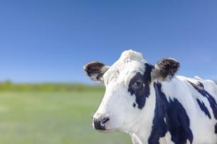 青空と緑の牧場を背景にした牛の斜め前のアップの写真素材 [FYI04735191]