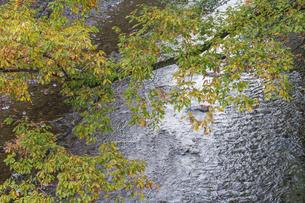 盛秋の秋川渓谷の写真素材 [FYI04735271]