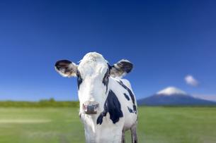 青空と緑の牧場を背景にしたカメラ目線の牛の正面の写真素材 [FYI04735302]