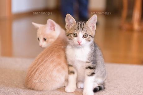 寄り添う子猫の写真素材 [FYI04735303]