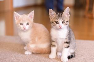 寄り添う子猫の写真素材 [FYI04735304]