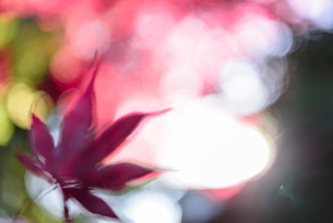 真っ赤な紅葉の写真素材 [FYI04735305]