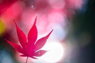 真っ赤な紅葉の写真素材 [FYI04735306]