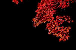 真っ赤な紅葉の写真素材 [FYI04735307]