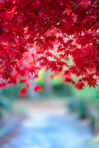 真っ赤な紅葉の写真素材 [FYI04735309]