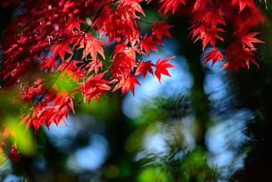 真っ赤な紅葉の写真素材 [FYI04735310]