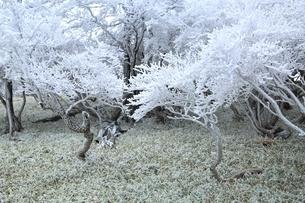 樹氷の大台ケ原の写真素材 [FYI04735346]