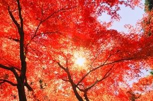 紅葉の北野天満宮の写真素材 [FYI04735360]