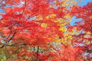 紅葉の北野天満宮の写真素材 [FYI04735362]