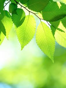 新緑のケヤキの葉の写真素材 [FYI04735721]