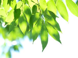 新緑のケヤキの葉の写真素材 [FYI04735733]