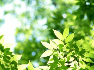 新緑のケヤキの葉の写真素材 [FYI04735741]