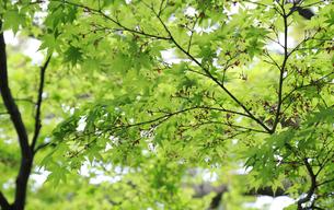 鮮やかな新緑の写真素材 [FYI04736123]