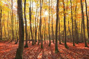紅葉のブナ林に朝日の写真素材 [FYI04736142]