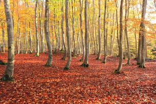 紅葉のブナ林に朝の陽ざしの写真素材 [FYI04736144]