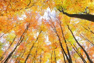 紅葉のブナ林の写真素材 [FYI04736145]