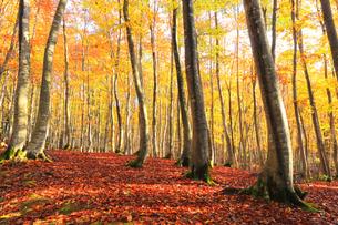 紅葉のブナ林に朝の陽ざしの写真素材 [FYI04736146]