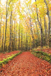 紅葉のブナ林に道の写真素材 [FYI04736148]