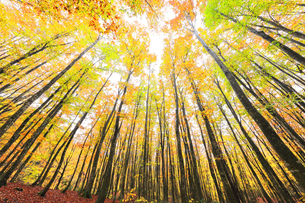 紅葉のブナ林の写真素材 [FYI04736149]