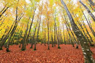 紅葉のブナ林の写真素材 [FYI04736151]