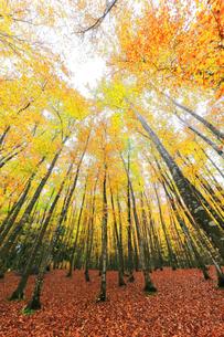 紅葉のブナ林の写真素材 [FYI04736152]