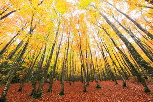紅葉のブナ林の写真素材 [FYI04736153]