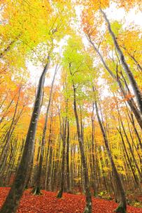 紅葉のブナ林の写真素材 [FYI04736154]