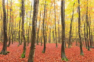 紅葉のブナ林の写真素材 [FYI04736155]