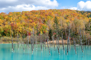 北海道秋の風景 青い池の紅葉の写真素材 [FYI04736246]