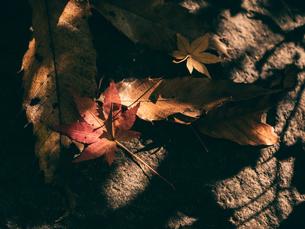 【秋】夕方の光に照らされた楓の落ち葉 紅葉の写真素材 [FYI04736294]