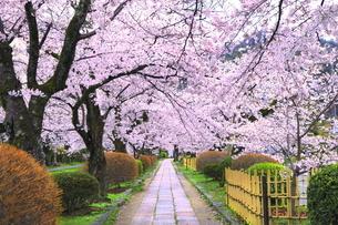 桜の咲く白川疎水道の写真素材 [FYI04736342]
