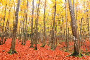 紅葉のブナ林の写真素材 [FYI04736414]