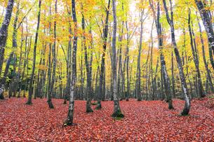 紅葉のブナ林の写真素材 [FYI04736415]