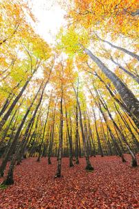 紅葉のブナ林の写真素材 [FYI04736416]