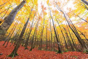 紅葉のブナ林の写真素材 [FYI04736417]