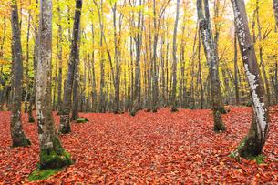 紅葉のブナ林の写真素材 [FYI04736418]