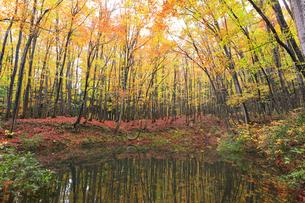 紅葉のブナ林と池の写真素材 [FYI04736419]
