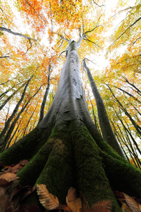 紅葉のブナの森の写真素材 [FYI04736420]