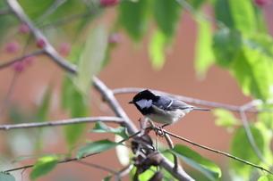 枝にとまる日雀の写真素材 [FYI04736852]