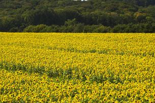 パレットの丘とヒマワリの写真素材 [FYI04737136]