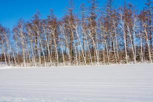 冬のシラカバと落葉松と青空の写真素材 [FYI04737146]