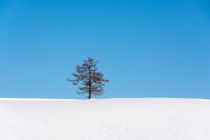 雪原に立つ落葉松と青空の写真素材 [FYI04737156]