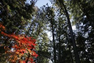 長瀞 秋の宝登山神社 参道の杉並木とモミジの写真素材 [FYI04737230]