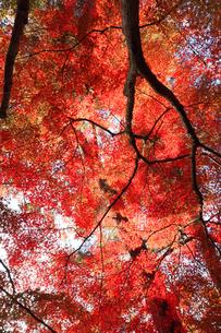 長瀞 月の石もみじ公園の紅葉の写真素材 [FYI04737293]