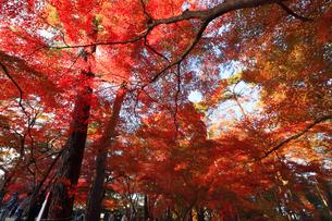 長瀞 月の石もみじ公園の紅葉の写真素材 [FYI04737295]