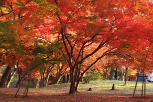 長瀞 月の石もみじ公園の紅葉の写真素材 [FYI04737297]