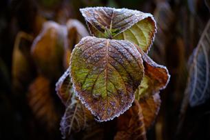 凍った植物の写真素材 [FYI04737436]