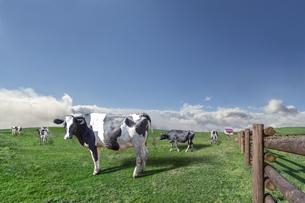 青空と雲海を背景に高原の牧場で草を食む牛数頭の写真素材 [FYI04737441]