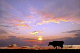 オレンジの空を背景に高原の牧場を歩む牛のシルエットの写真素材 [FYI04737451]